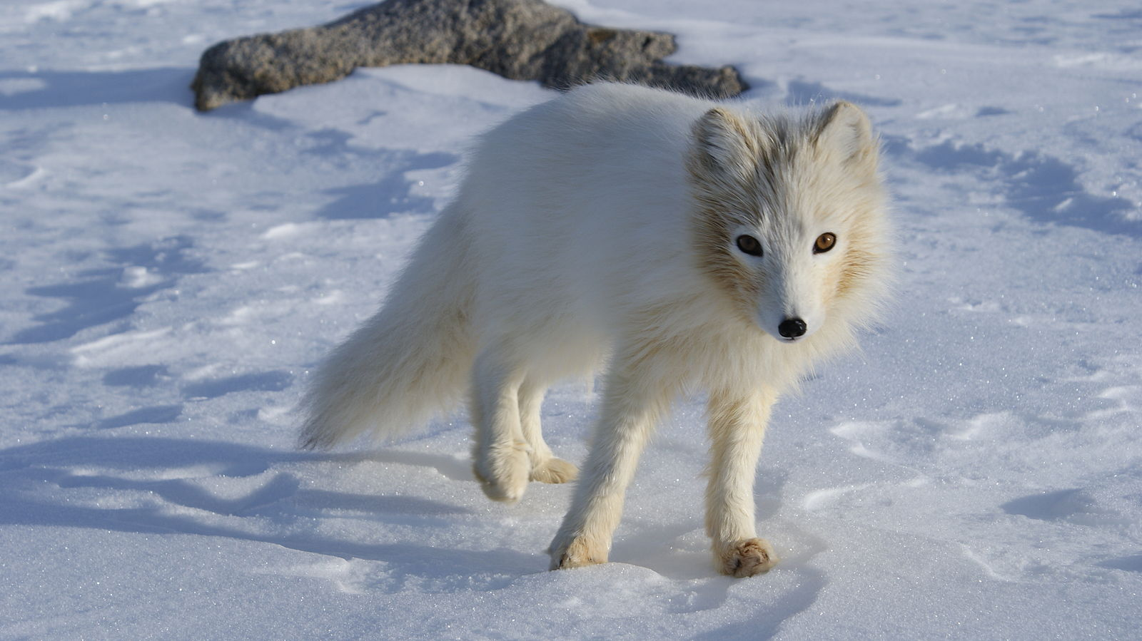 Arctic wolf in white fur standing on top of snow