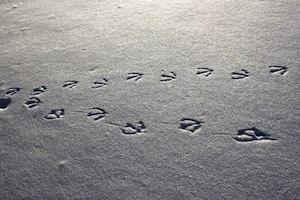 Goose track in snow
